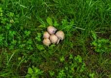 A bunch of five dung mushrooms in the grass on a field in a village stock image