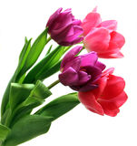 Bunch of purple and pink tulips. A bunch of five pink and purple tulip flowers on a white background Stock Images