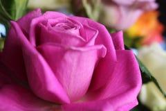closeup photo of pink Rose royalty free stock photo