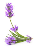 Bunch of flowering lavender herb royalty free stock images