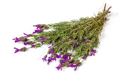 Bunch of Flowering Purple Lavender Plant Stems on White Stock Image