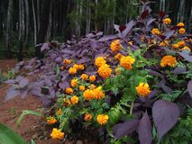 Plants bloom very beautifully in pine forests stock photos
