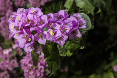 Bunch of flowers of bougainvillea Royalty Free Stock Image
