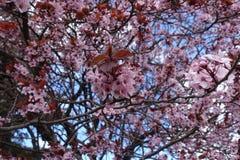 Bunch of flowers of Prunus cerasifera pissardii. In spring royalty free stock photo