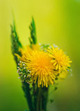 Bunch of flowers. Yellow summer dandelions and green grass Royalty Free Stock Photos
