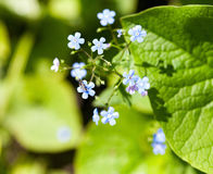 A bunch of forget me nots Royalty Free Stock Image