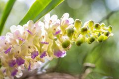 Bunch of fragrant orchids, Aerides falcata Lindl. Royalty Free Stock Photography