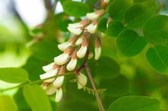 A bunch of fragrant white acacia flowers with green leaves and s Stock Photo