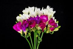Bunch Freesia Isolated Royalty Free Stock Image