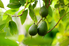 Bunch of fresh avocados ripening on an avocado tree branch Stock Image