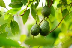 Bunch of fresh avocados ripening on an avocado tree branch in sunny garden. Hawaii, USA Royalty Free Stock Images