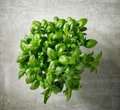 Bunch of fresh basil Royalty Free Stock Photo