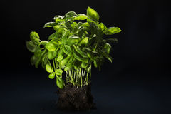 Bunch of fresh basil with soil attached Royalty Free Stock Images