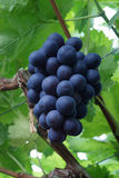 Bunch of fresh blue dutch consumption grapes. Big bunch of fresh blue consumption grapes in old dutch greenhouse Stock Photo