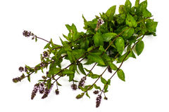Bunch of fresh branches with oregano flowers Royalty Free Stock Photography