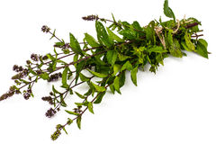 Bunch of fresh branches with oregano flowers Royalty Free Stock Photos