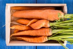 A bunch of fresh carrots royalty free stock photos
