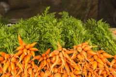 Bunch of fresh carrots Royalty Free Stock Images
