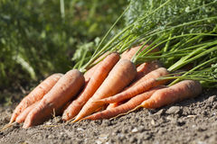 Bunch of fresh carrots with green leaves on the ground. Bunch of carrots with green leaves on the ground Stock Images