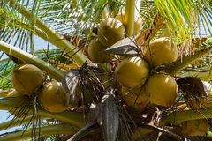 Coconut fruit on coconut tree. royalty free stock photos