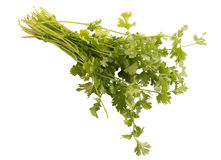 Bunch of fresh coriander isolated on white background. Royalty Free Stock Images