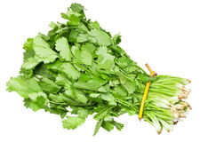 Bunch of fresh coriander leaves isolated Stock Photography