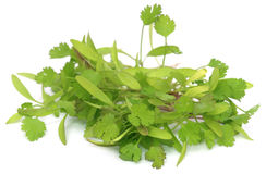 Bunch of fresh coriander leaves Stock Images