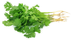 Bunch of fresh coriander leaves Royalty Free Stock Photography