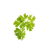 Bunch of fresh coriander leaves over white background. Stock Images