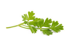 Bunch of fresh coriander leaves over white background. Royalty Free Stock Image