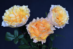 Bunch of fresh cream-colored roses Royalty Free Stock Image