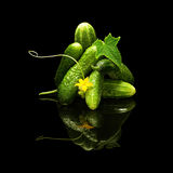 Bunch of fresh cucumbers isolated on a black background. Bunch of fresh cucumbers leaf and flower with water drops isolated on black with real reflection Stock Photography