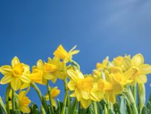 Bunch of fresh daffodils. Bunch of fresh yellow garden daffodils over blue sky Stock Image