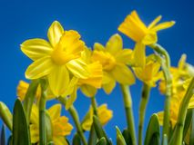 Bunch of fresh daffodils. Bunch of fresh yellow garden daffodils over blue sky Royalty Free Stock Photo