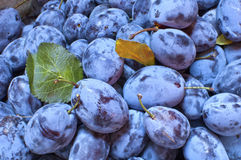 A bunch of fresh damson Stock Photography
