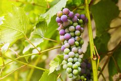 Green grapes on a branch royalty free stock images