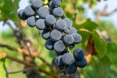 Bunch of fresh dark black ripe grape on green leaves under soft sunlight at the havest season, planting in the organic viticulture. Vineyard farm to produce the royalty free stock photos