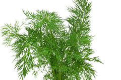 A bunch of fresh dill Stock Image