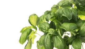 Bunch of fresh green basil,isolated Stock Photography