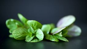 Bunch of fresh green mint on black background stock video footage