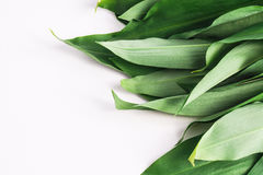 Bunch of Fresh Green Rams Onion or Ramsoms Stock Image