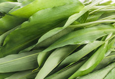 Bunch of Fresh Green Rams Onion or Ramsoms Royalty Free Stock Photography