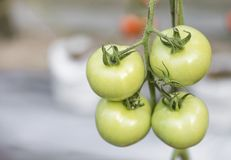 A bunch of fresh green tomato over blurred garden royalty free stock photos