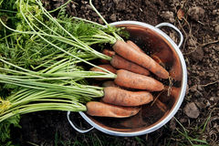 Bunch of fresh harvested carrots Stock Photography