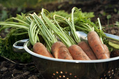 Bunch of fresh harvested carrots Royalty Free Stock Photography