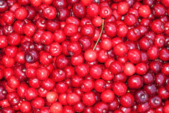 Bunch of fresh, juicy, ripe cherries Stock Images