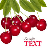 Bunch of fresh, juicy, ripe cherries. Vector Stock Images