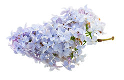 Bunch of fresh lilac Royalty Free Stock Image