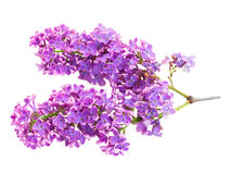 Bunch of fresh lilac Royalty Free Stock Photography