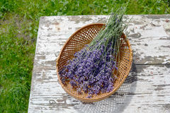 Bunch fresh medical lavender herb flowers in basket Stock Images